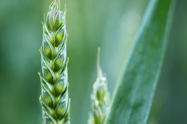 , agriculture, background, cereal, corn, countryside