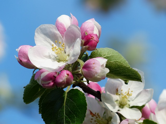 , apple blossom, apple tree, flower, white, pink, road