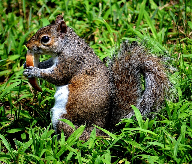 , back yard, grass, nature, outside, squirrel, animal
