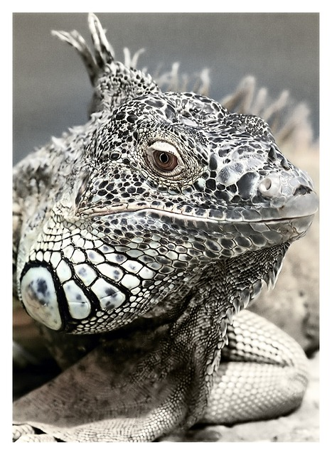 , black and white, saurian, animal, nature, iguana