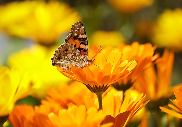, butterfly, yellow, insect, nature, animal, macro