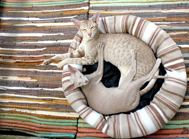 , cat, kitten, siamese cat, cozy, blanket, stripes