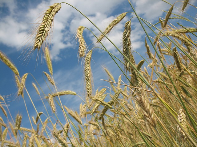 , cereals, wheat, agriculture, wheat field, grain