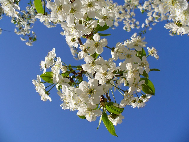 , cherry tree, blossom, blossoms, sky, clouds, blooming