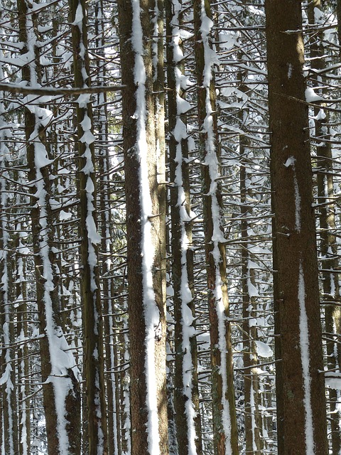 , fir, firs, trees, snowy, winter, snow, wintry
