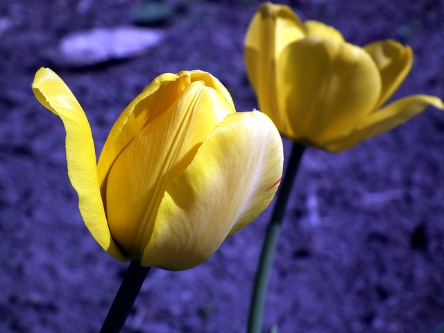, flower, tulip, yellow, garden flower, spring, bright