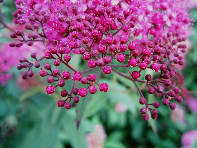 , flowers, head, pink, small, bright, buds, garden