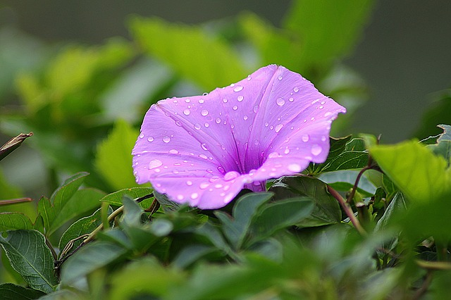 , flowers, morning glory, beautiful