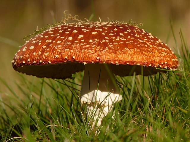 , fly agaric, mushroom, gift, toxic, nature, forest, red