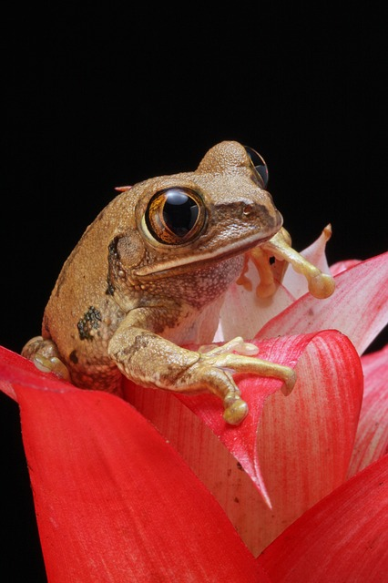 , frog, marbled reed frog, amphibian, animal, red, plant