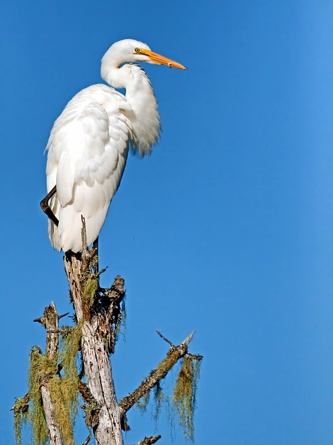 , giant egret, bird, wildlife, perch, sky, closeup, macro