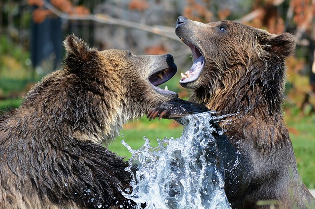 , grizzly, bears, playing, sparring, grizzlies, bear, fun