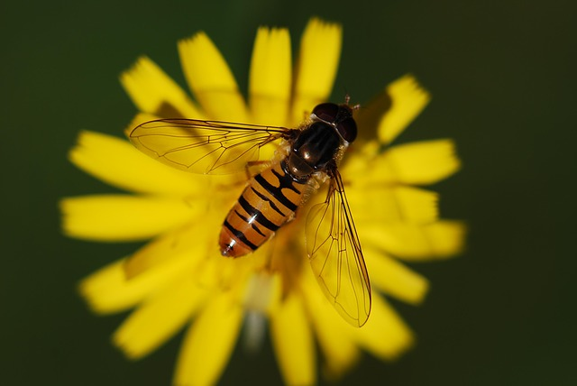 , hover fly, insect, close, animal, nature, macro, fly