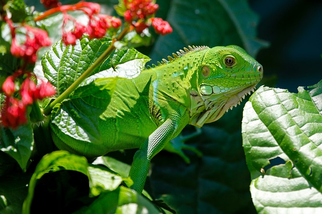 , iguana, reptile, animals, lizard, green, nature
