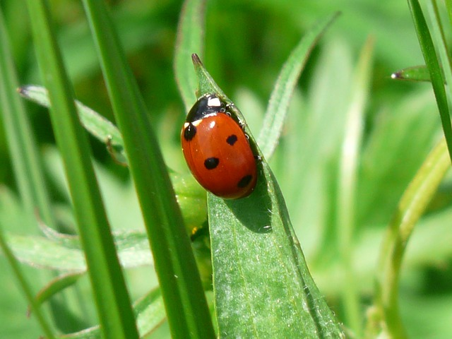 , ladybug, beetle, red, points, lucky charm, luck