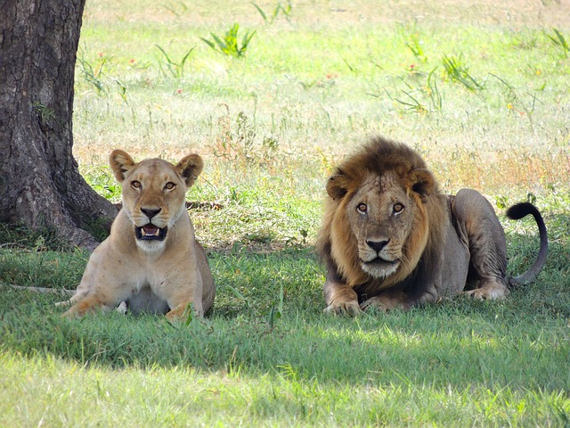 , lions, animale, male, female lions, ready to pounce
