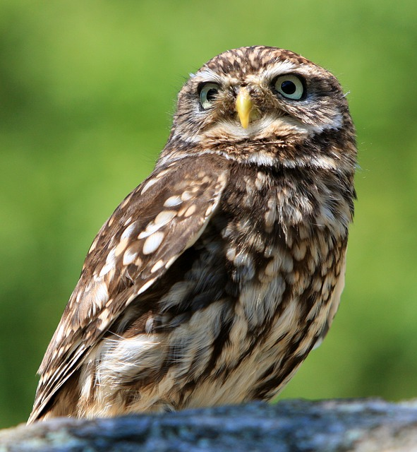 , owl, bird, animal, nature, little owl, beautiful, photo