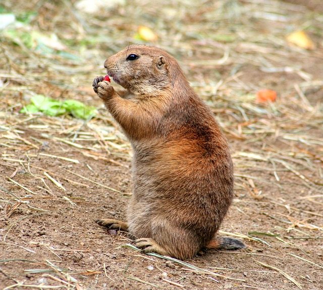 , prairie dog, gophers, croissant, rodents, cynomys