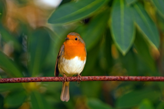 , robin, bird, red robin, feathered, animal, nature