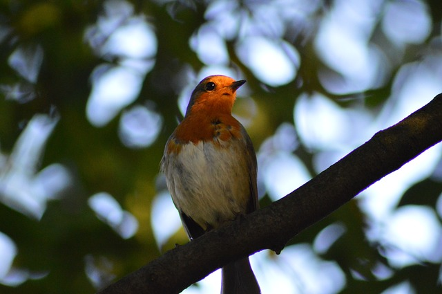 , robin, bird, red robin