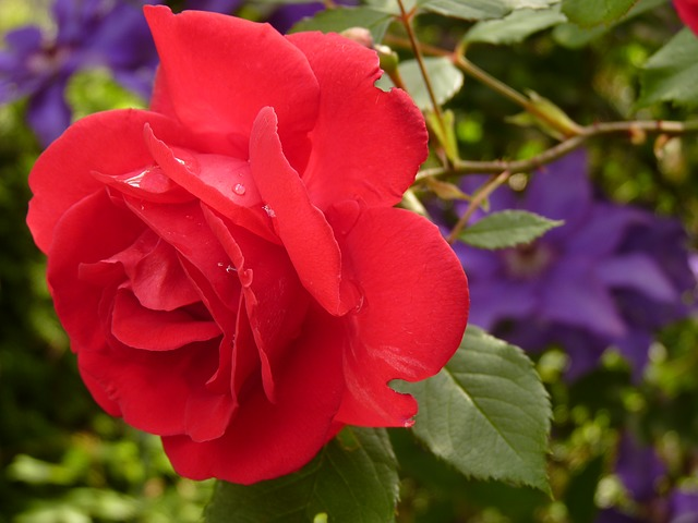 , rose, flower, red rose, rose bloom, fragrance, beauty