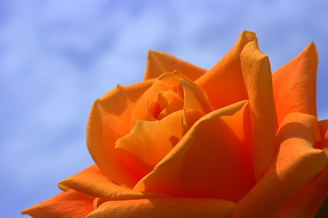 , rose, orange, flowers, summer, flower, roses