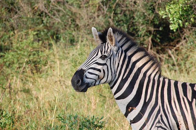 , south africa, wild, nature, wildlife, animals, zebra