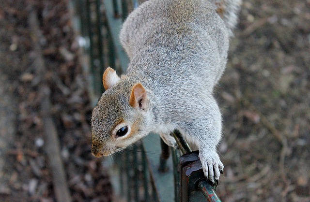 , squirrel, squirrels, wildlife, animals, outdoors, park