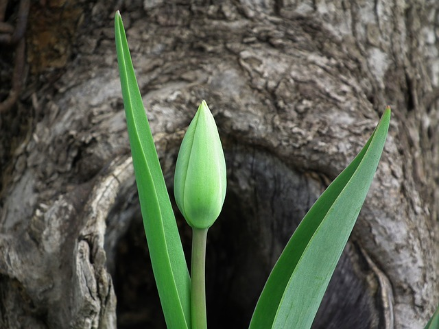 , tulip, flower, spring, leaves, bud, green, green leaves