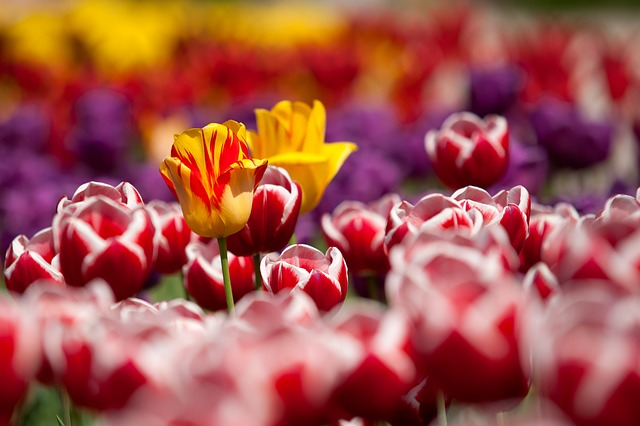 , tulips, flowers, plant, red, garden, spring