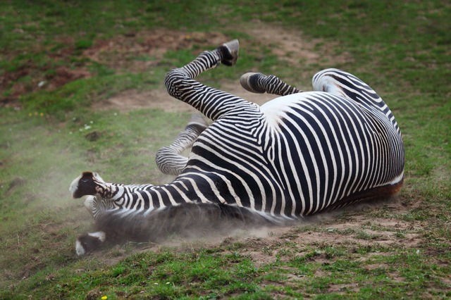 active, africa, african, animal, dust, dusty, horse