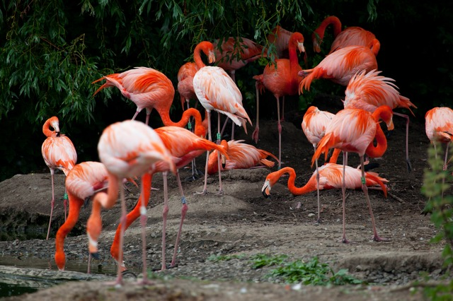 africa, animal, beak, bird, color, feather, flamingo