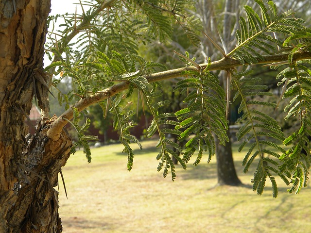 africa, south africa, tree, acacia, thorns, nature