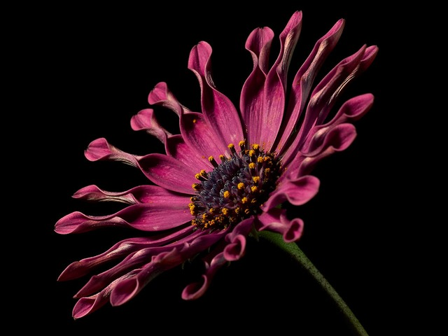 african daisy, flower, nature, flora, beautiful, color