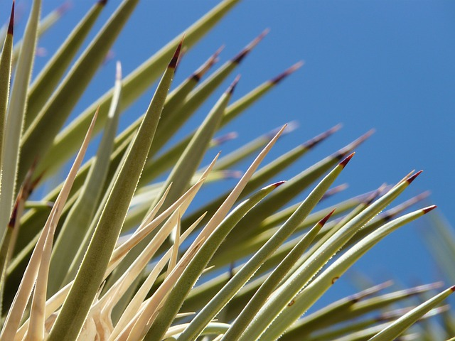 agave, cactus, leaves, spur, thorns, plant