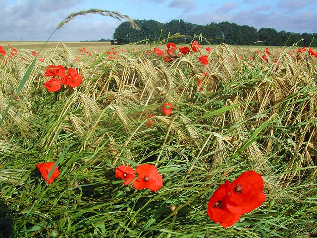 agriculture, campaign, wheat, poppy, nature, rural