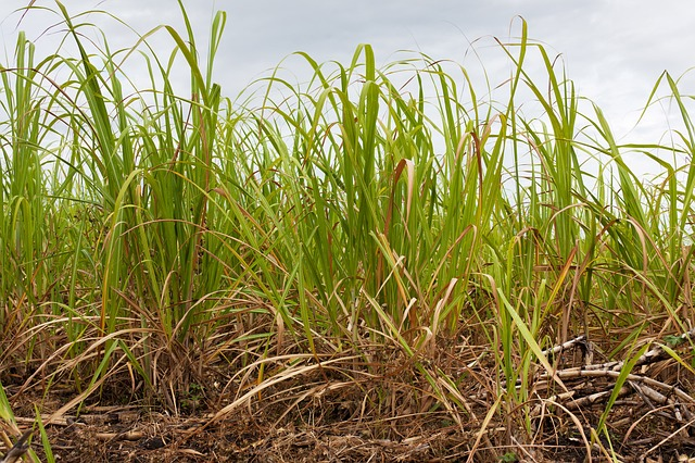 agriculture, sugar cane, crop, farming, field, grass