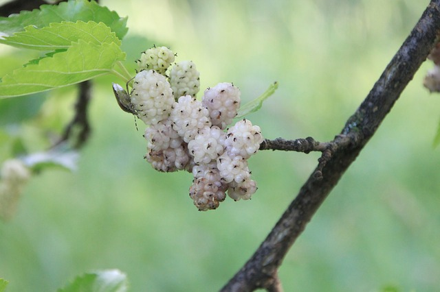 alba, morus, mulberry, white, fruit, plants