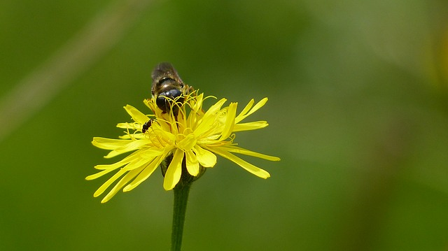 allgäu, alpine flower, forest hawkweed, insect, flower