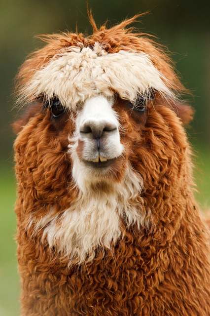 alpaca, animal, single, brown, curly, face, fluffy