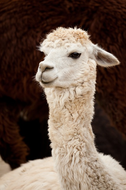 alpaca, animal, single, brown, white, curly, face