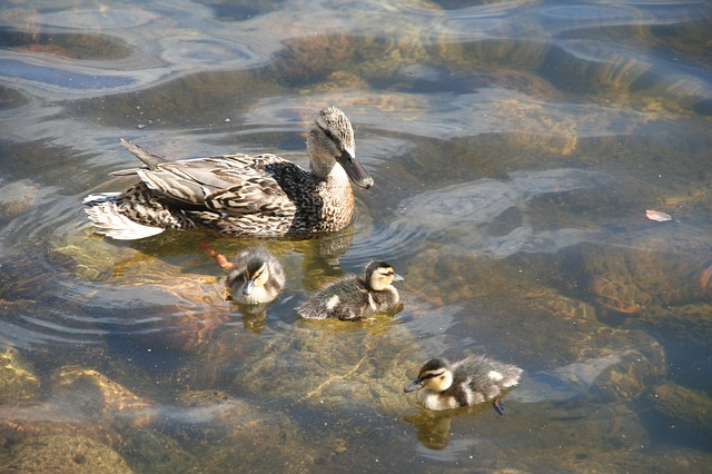 anas platyrhynchos, duck, mallard, animal, ducklings