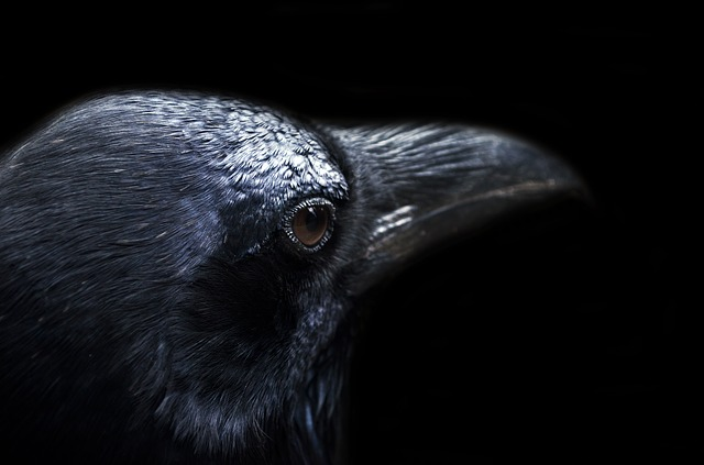 animal, autumn, background, bird, black, crow, dark