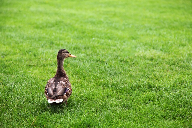 animal, beak, bird, brown, duck, farm, feathers, field