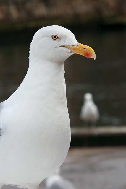 animal, beak, bird, feather, feathers, gull, look