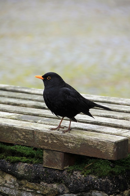 animal, bird, blackbird