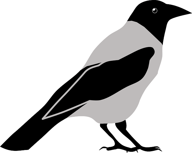 animal, bird, crow, magpie