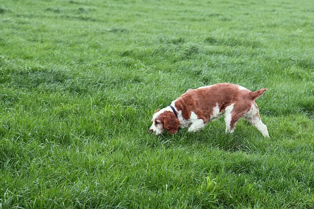animal, brown, canine, dog, domestic, field, grass