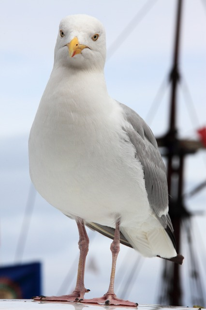 animal, curious, beak, bird, feather, feathers, gull