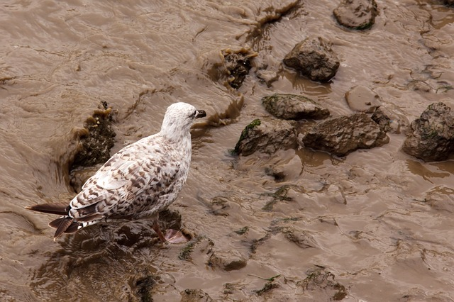 animal, dirty, brown, bird, gull, ocean, sea, seagull